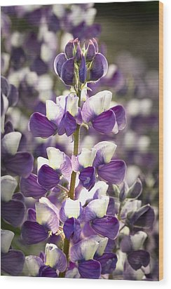 Wood Print featuring the photograph Lupine Wildflowers by Sonya Lang