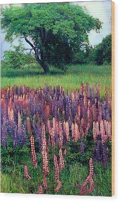 Lupines Midcoast Maine Wood Print