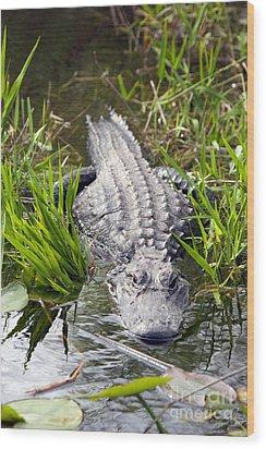 Lurking Alligator Wood Print by Martha Marks