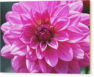 Wood Print featuring the photograph Lush Pink Dahlia by Judy Palkimas