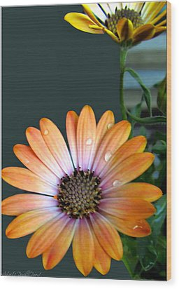 Macro Orange And Yellow Daisies With Water Droplets Wood Print by Danielle  Parent