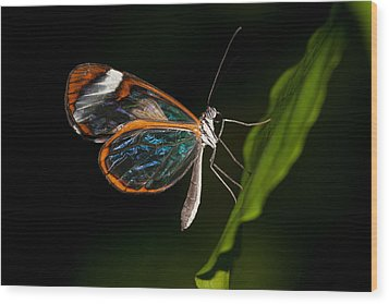 Wood Print featuring the photograph Macro Photograph Of A Glasswinged Butterfly by Zoe Ferrie