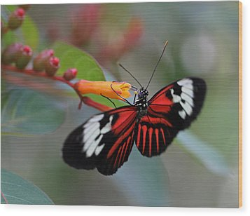 Madiera Butterfly Wood Print by Juergen Roth