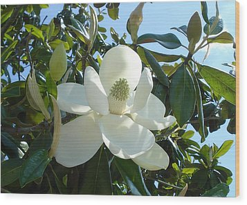 Magnificent Magnolia Wood Print by June Holwell
