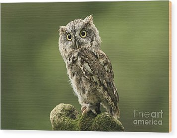 Magnifique  Eastern Screech Owl Wood Print by Inspired Nature Photography Fine Art Photography