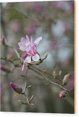 Magnolia Blossom In Tree 3 Wood Print by Rebecca Cozart