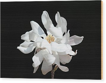 Magnolia Blossom Wood Print by Trina  Ansel