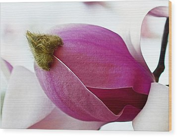 Magnolia Blossom With Cap Wood Print by Lisa Phillips