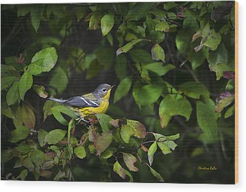 Magnolia Warbler Wood Print by Christina Rollo