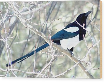 Magpie On Aspen Tree Wood Print