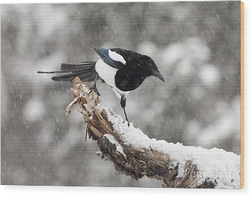 Magpie Out On A Branch Wood Print by Tim Grams