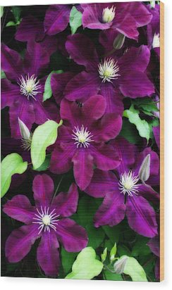 Majestic Amethyst Colored Clematis Wood Print