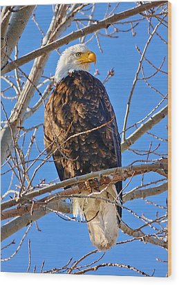 Majestic Bald Eagle Wood Print