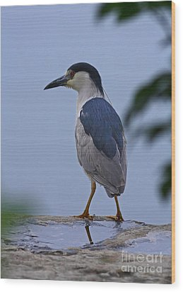 Majestic Black Capped Night Heron At Dusk Wood Print by Inspired Nature Photography Fine Art Photography