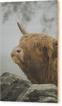 Majestic Highland Cow Wood Print
