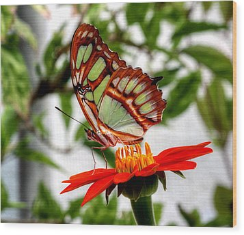Malachite Butterfly On A Mexican Coneflower Wood Print by Larry Trupp