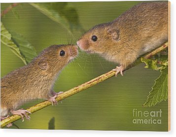 Male And Female Harvest Mice Wood Print by Jean-Louis Klein and Marie-Luce Hubert
