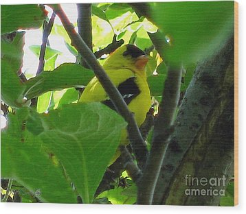 Male American Goldfinch Wood Print by J McCombie