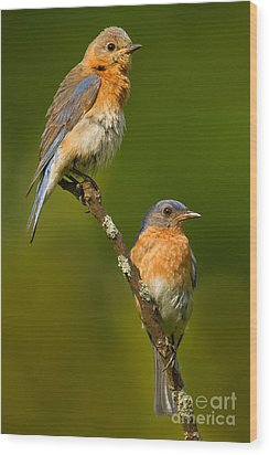 Wood Print featuring the photograph Male And Female Bluebirds by Jerry Fornarotto