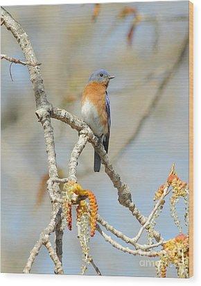 Male Bluebird In Budding Tree Wood Print