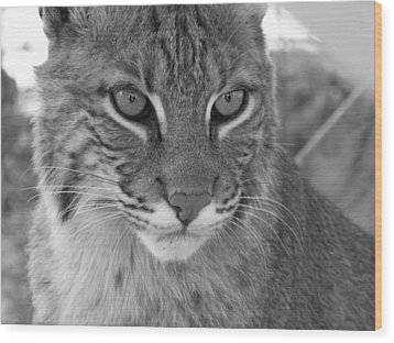 Male Bobcat - Black And White Wood Print by Jennifer  King