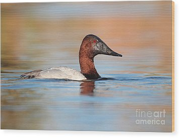 Male Canvasback Wood Print