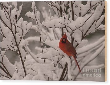 Male Cardinal Amongst Snowy Branches Wood Print