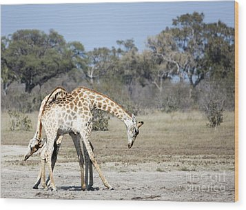 Wood Print featuring the photograph Male Giraffes Necking by Liz Leyden