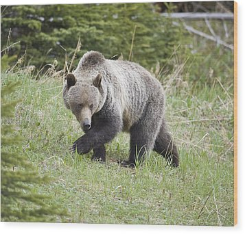 Male Grizzly In Kananaskis Wood Print