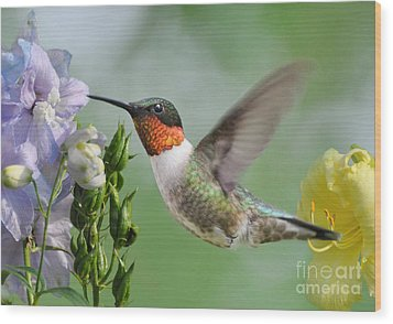 Male Hummingbird Wood Print