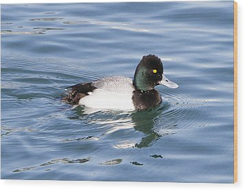 Male Lesser Scaup Wood Print by Shoal Hollingsworth