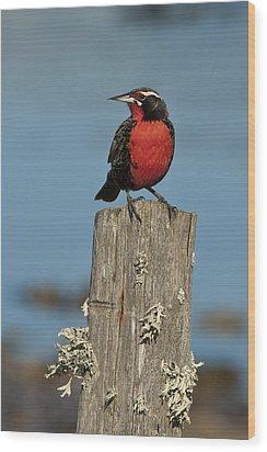 Male Long-tailed Meadowlark On Fencepost Wood Print