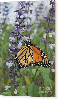 Wood Print featuring the photograph Male Monarch Butterfly  by Eva Kaufman