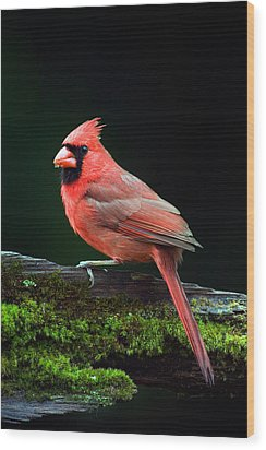 Male Northern Cardinal Cardinalis Wood Print by Panoramic Images