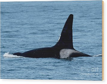 Wood Print featuring the photograph Male Orca Killer Whale In Monterey Bay 2013 by California Views Mr Pat Hathaway Archives