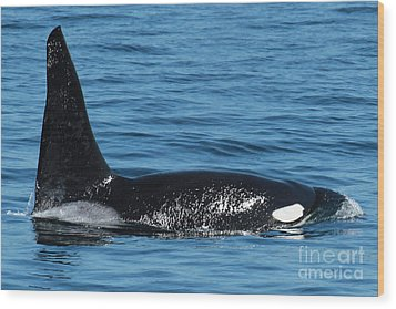 Wood Print featuring the photograph Lonesome George Ca165  Male Orca Killer Whale In Monterey Bay California 2013 by California Views Mr Pat Hathaway Archives