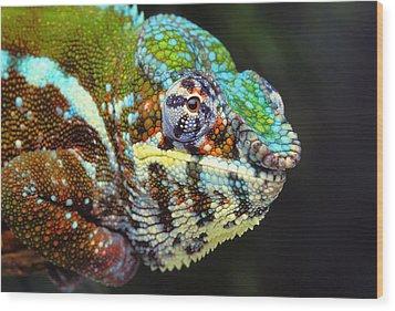 Male Panther Chameleon Furcifer Wood Print by Thomas Kitchin & Victoria Hurst