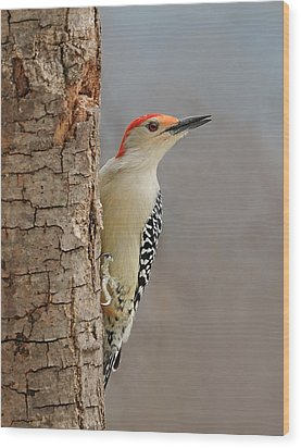 Male Redbellied Woodpecker 1 Wood Print by Lara Ellis