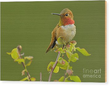 Male Rufous Hummingbird Wood Print by Tom and Pat Leeson