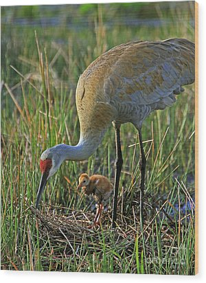 Male Sandhill With 4 Day Old Chick Wood Print by Larry Nieland