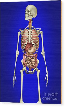 Male Skeleton With Internal Organs Wood Print by Leonello Calvetti