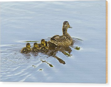 Mallard And Chicks  Wood Print