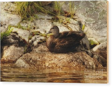 Wood Print featuring the photograph Mallard Duck Onaping by Marjorie Imbeau