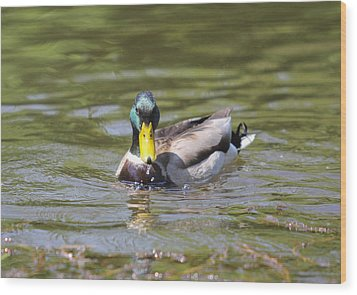 Wood Print featuring the photograph Mallard Green Headed Duck Anas Platyrhynchos - Male by Jivko Nakev