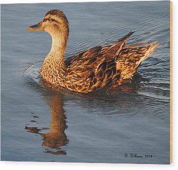 Mallard Hen Swimming Wood Print