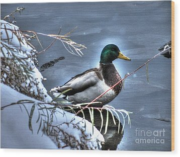 Mallard In Winter Wood Print