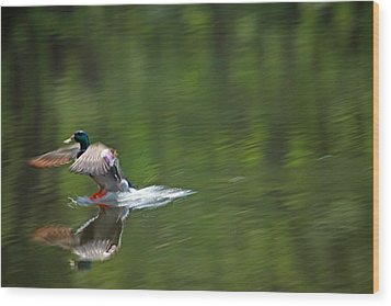 Mallard Splash Down Wood Print
