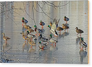 Mallards On A Frozen River Wood Print by Rodney Campbell