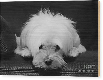 Maltese Dog Wood Print