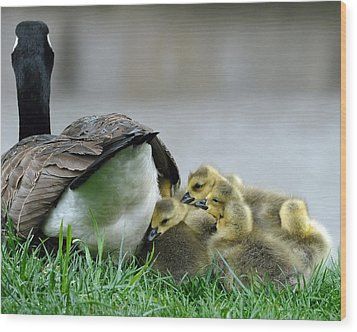 Mama And Goslings Wood Print by Lisa Phillips